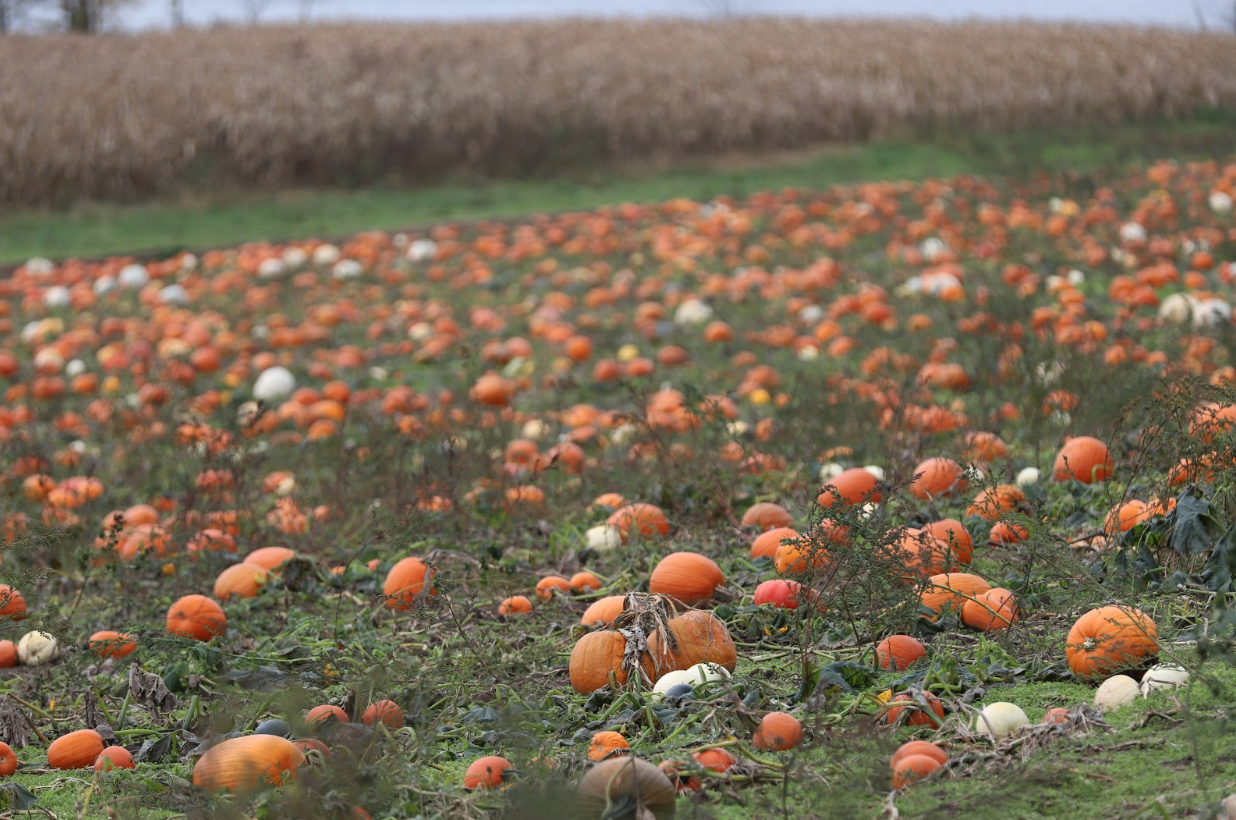 Many of pumpkins are likely to be carved into jack-o-lanterns or used for the creation of a food