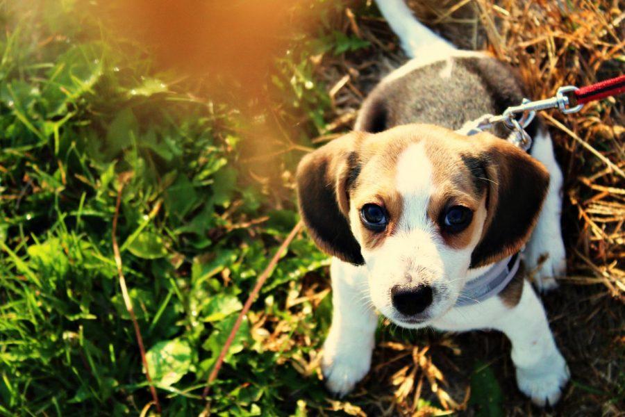 Beagle+Pup